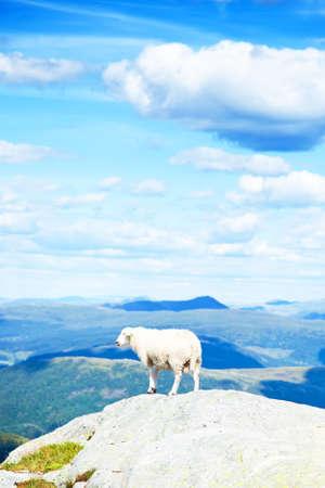 sheeps: Wool sheep photo Stock Photo