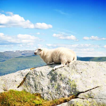 rock wool: Wool lamb in mountains