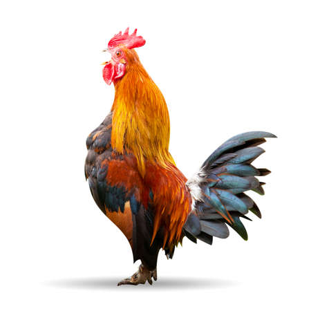 Rooster isolated on white Stock Photo