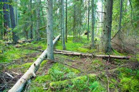 piny: Deep forest and fallen trees