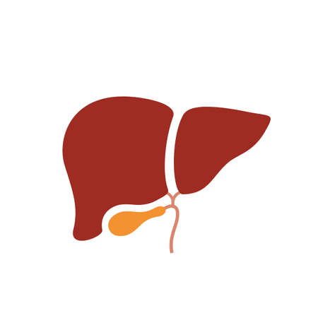Liver anatomy vector icon on white background Illustration