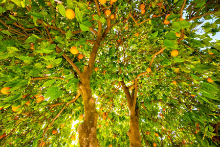 Orange tree in Valencia, Spain Reklamní fotografie
