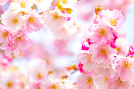 Pink cherry blossom, spring natural background, selective focus on foreground