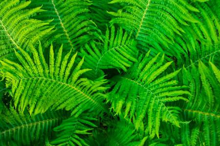 Green fresh fern leaves, natural background