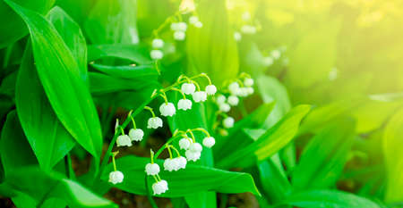Lily of the valley, muguet flowers, green spring background. Soft selective focus