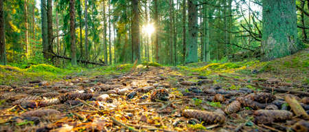 Wide panorama of sunny evening forest at sunset
