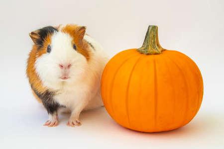 Guinea pig with pumpkin, happy Halloween greeting card design