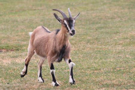rocky mountain bighorn sheep: bighorn