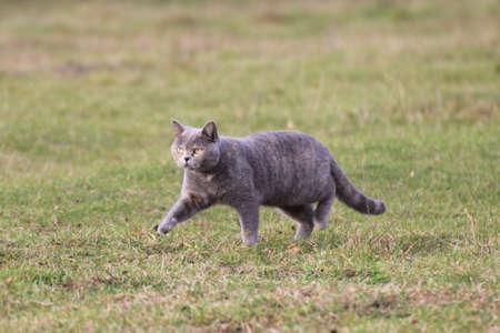 gato british