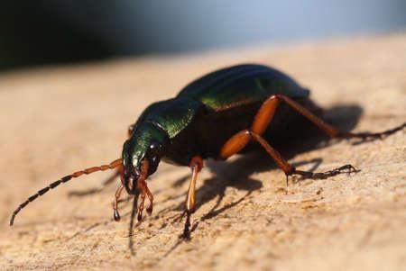carabus: beetle Stock Photo