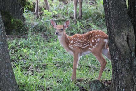 huge antlers: young deer