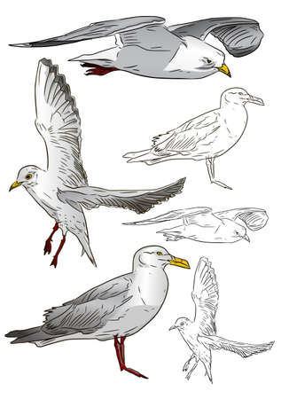 sea gull: beautiful seagull  Illustration