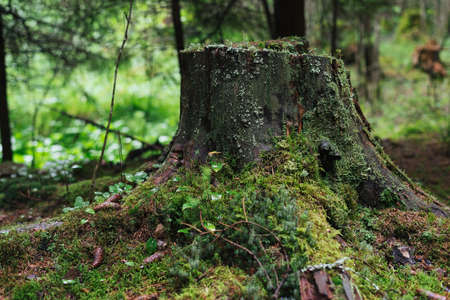 gray herons: Great old stump in the forest, in the moss