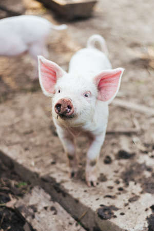 Cute White Piglet  for any purpose Stock Photo