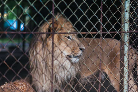 Lion in captivity, behind bars for any purpose