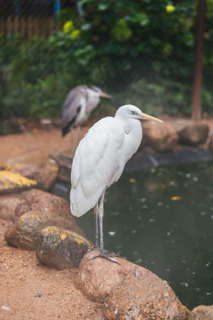 White egret big in captivity for any purpose