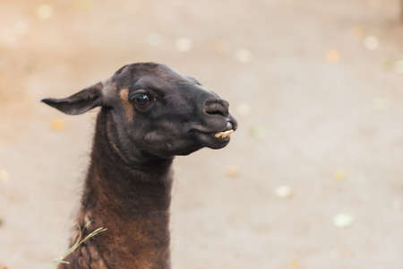 Lama with protruding teeth for any purpose