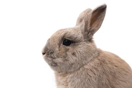 Close-up portrait of a sad grey rabbit isolated on white background