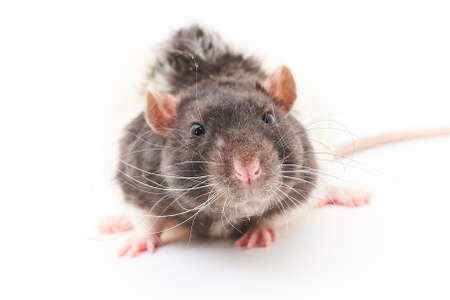Portrait of a cute, gray decorative rats. On a white background. For all purposes