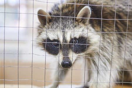 Sad, cute raccoon petting zoo. For all purposes Imagens