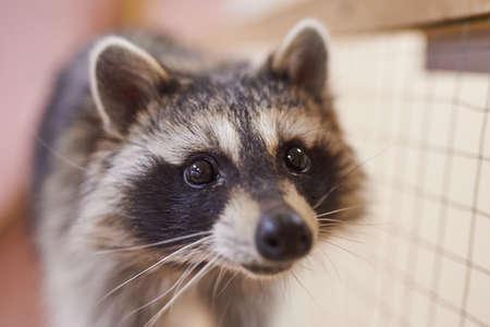 Sad, cute raccoon petting zoo. For all purposes Stockfoto