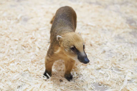 Sad red coati petting zoo For any purpose