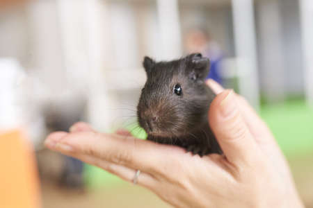 Guinea pig little black in his hands for any purpose Фото со стока