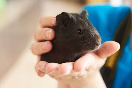Guinea pig little black in his hands for any purpose Reklamní fotografie