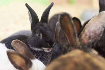 Cute black rabbit with a surprised muzzle for any purpose