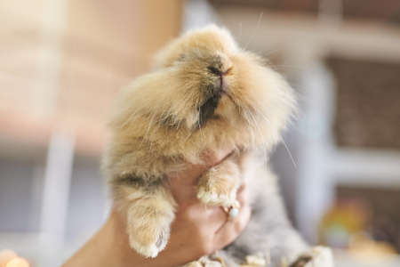Red fluffy rabbit with a black spot on the muzzle for any purpose