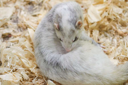 Light gray ferret lying on wood sawdust for any purpose