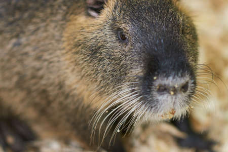 A large nutria sits on a wooden sawdust for any purpose