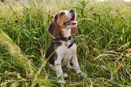 Beagle puppy, tongue out, sitting on the grass and looking up for any purpose