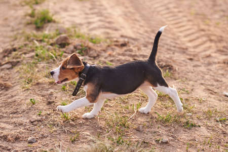 Beagle puppy, running on the sand for any purpose