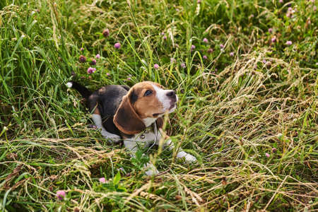 Beagle puppy lying on the grass and looking up for any purpose Banco de Imagens