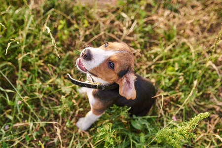 Beagle puppy, opening his mouth, sitting on the grass and looking up for any purpose