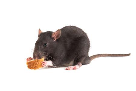 Cute gray rat o eating white bread. Imagens