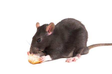 Linda rata gris o comiendo pan blanco. Foto de archivo