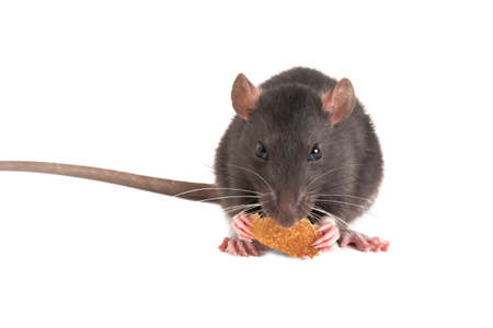 Cute gray rat o eating white bread.