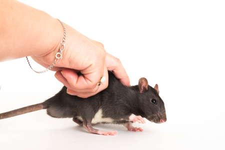 Cute gray rat, o evades female hand.