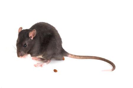 Süße kleine Ratte, die Angst hat und Exkremente legt
