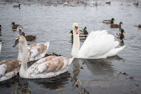 Swans on the lake, with chicks, in the winter. For any purpose.