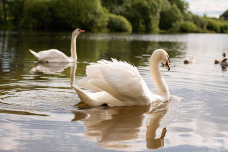 Beautiful white swan on the a lake. For any purpose.
