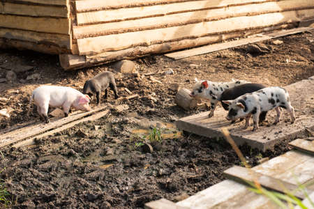 Little pigs of different colors on a home farm. For any purpose.