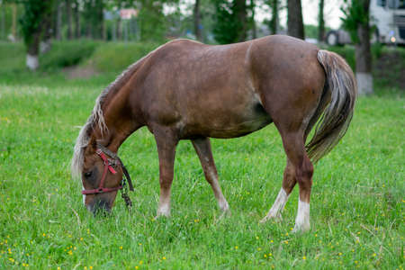 Silvery bay horse in a field on a paddock. High quality photo Stockfoto