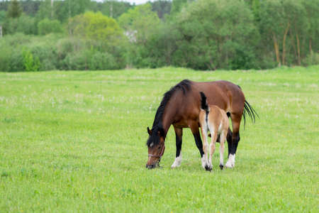 A bay horse with a foal in a field on a grazing. High quality photo 写真素材