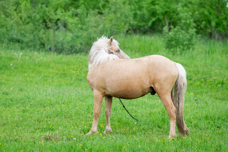 Golden horse grazes in a field on green grass. High quality photo 写真素材