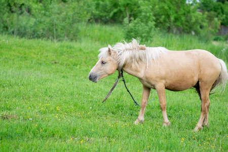 Golden horse grazes in a field on green grass. High quality photo Reklamní fotografie
