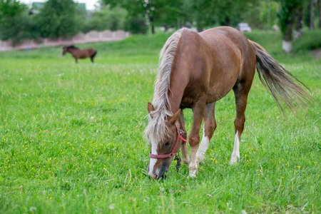 Silvery bay horse in a field on a paddock. High quality photo 写真素材
