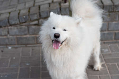 Samoyed dog on the street with signs of rabies